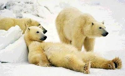 Labeld Diagram Of The Polar Bear